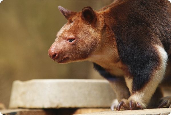 Древесный кенгуру Матши или Матчи (лат. Dendrolagus matschiei)