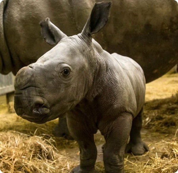 Детёныши белого носорога из Knowsley Safari Park