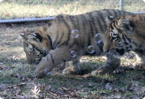 Новая забава для амурских тигрят!