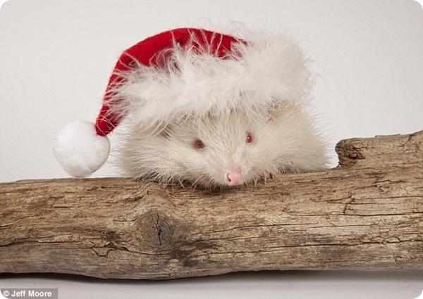 Ёжик-альбинос по кличке Снежок