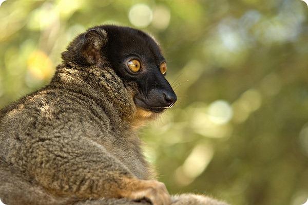 Обыкновенный бурый лемур (лат. Eulemur fulvus)
