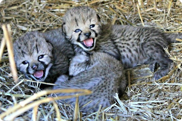 В центре White Oak родилось три детёныша гепарда