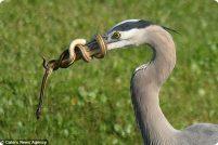 Противостояние змеи и цапли