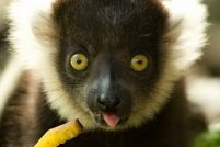 Новое пополнение гривистых лемуров в Mogo Zoo