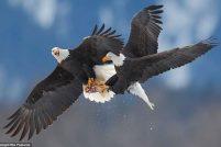 Схватка белоголовых орланов