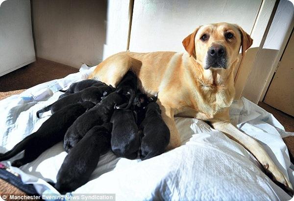 Лабрадор Люси и её двенадцать щенят