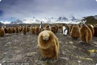 Любопытные птенцы королевских пингвинов