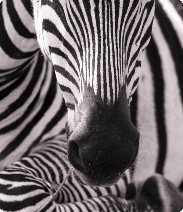 Зебры (лат. Hippotigris)