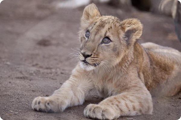 Зоопарк Денвера встречает львят