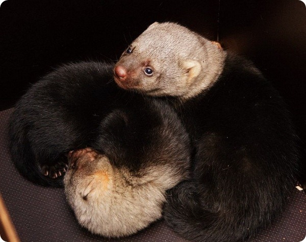 Детеныши тайры из зоопарка Праги