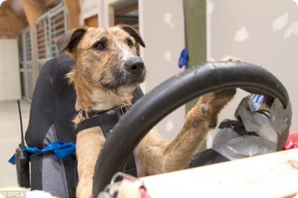 Собаки за рулём!