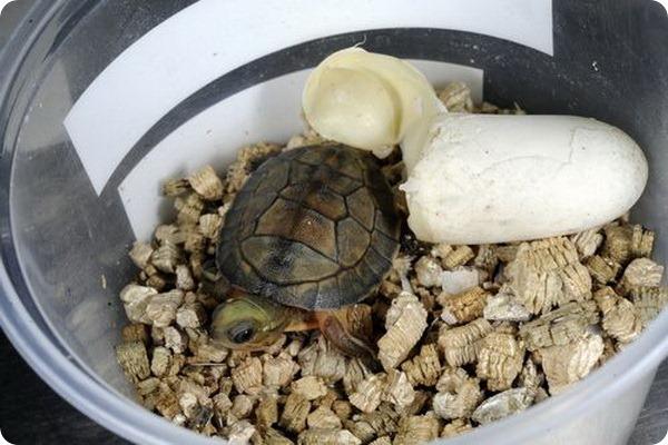 Желтоголовые коробчатые черепашата из Bronx Zoo