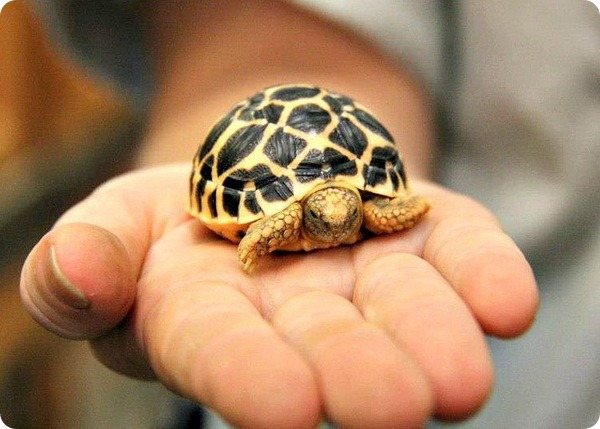 Детёныши звёздчатой черепахи из Taronga Zoo