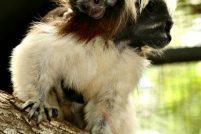 Самка хохлатого тамарина стала матерью