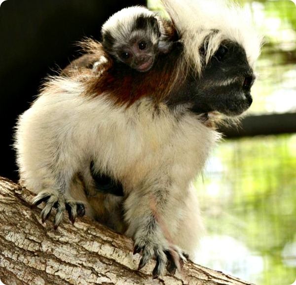 Самка хохлатого тамарина из Alma Park Zoo стала матерью