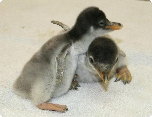 Птенцы папуанского пингвина из аквариума Moody Gardens