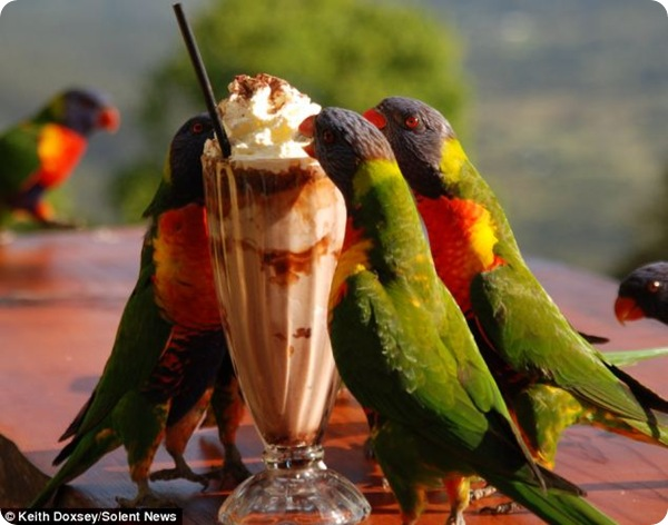 Попугаи и молочный коктейль