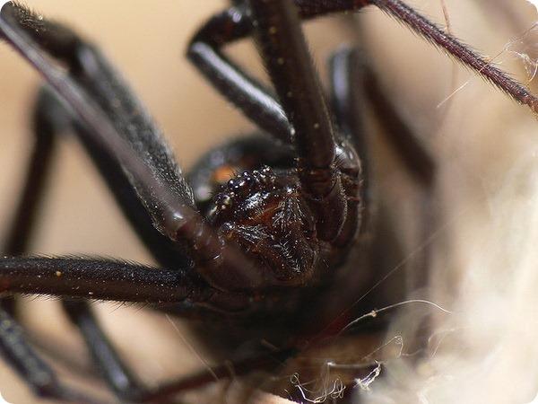 Черная вдова (лат. Latrodectus mactans)