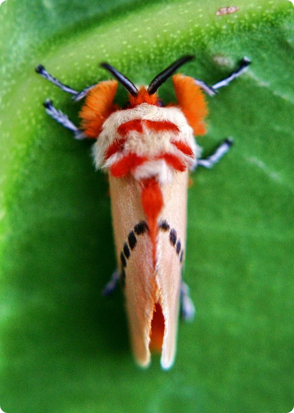 Мегалопигида Trosia nigropunctigera