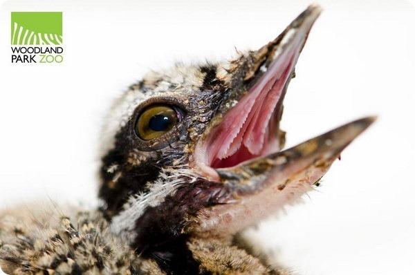 В Woodland Park Zoo появился птенец редкой солнечной цапли