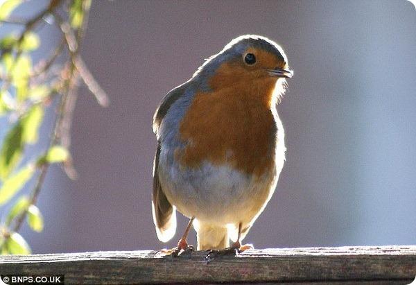 Робин – самая любимая птица британцев