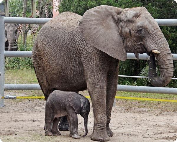 В зоопарке Флориды родился африканский слоненок