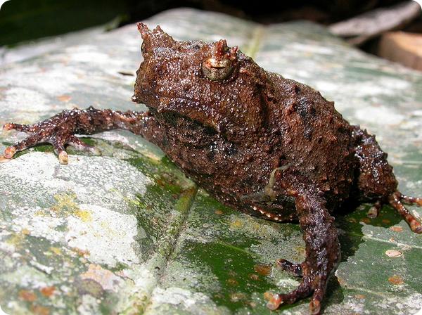 Страшный широкоголов (лат. Asterophrys turpicola)
