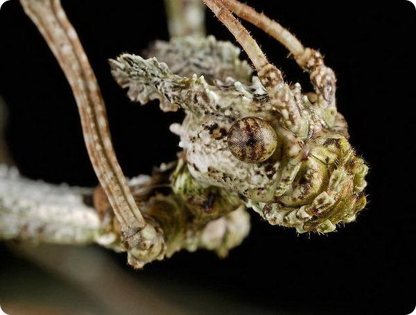 Мшистый палочник Trychopeplus laciniatus