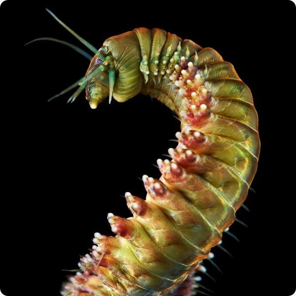 Нереис — морской червь с обличьем дракона