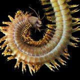 Нереис — морской червь