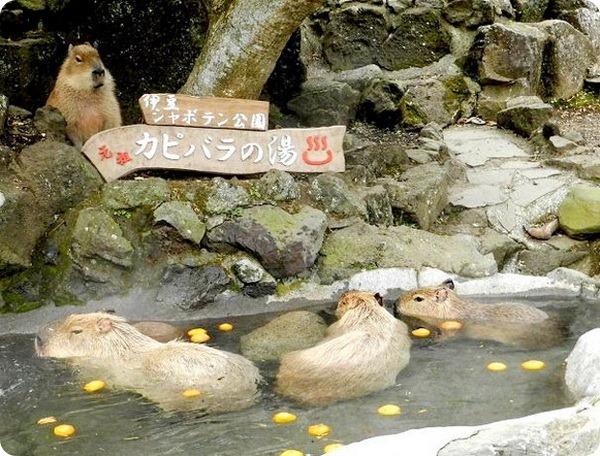 Купание капибар в горячих источниках Izu Shaboten Park