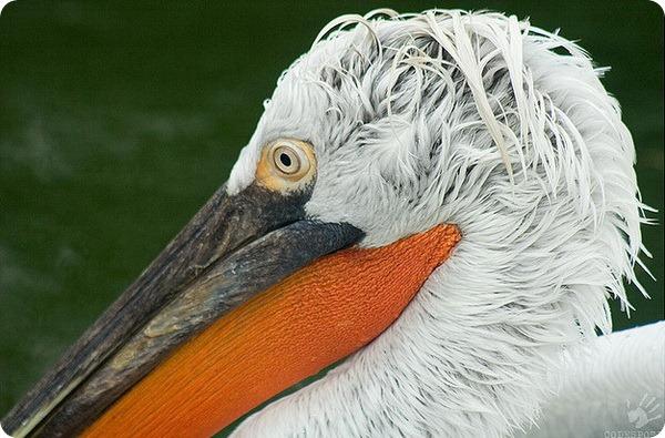 Кудрявый пеликан (лат. Pelecanus crispus)