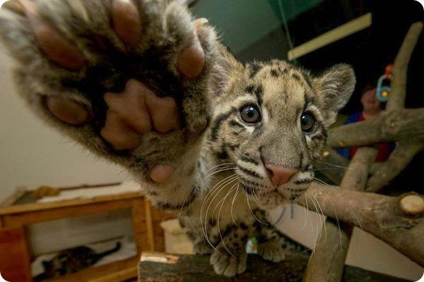 В зоопарк Сан-Диего прибыло два детёныша дымчатого леопарда