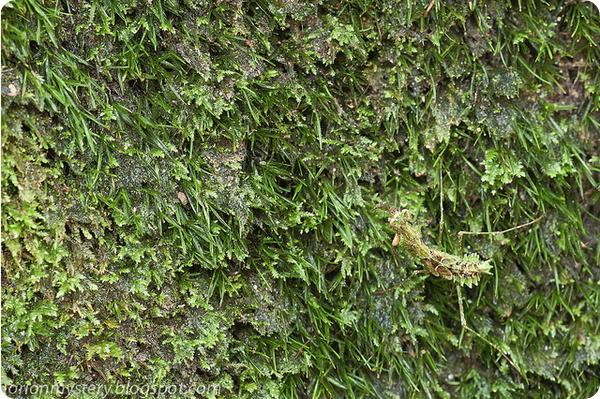 Маянгелла Мултона (лат. Majangella moultoni)