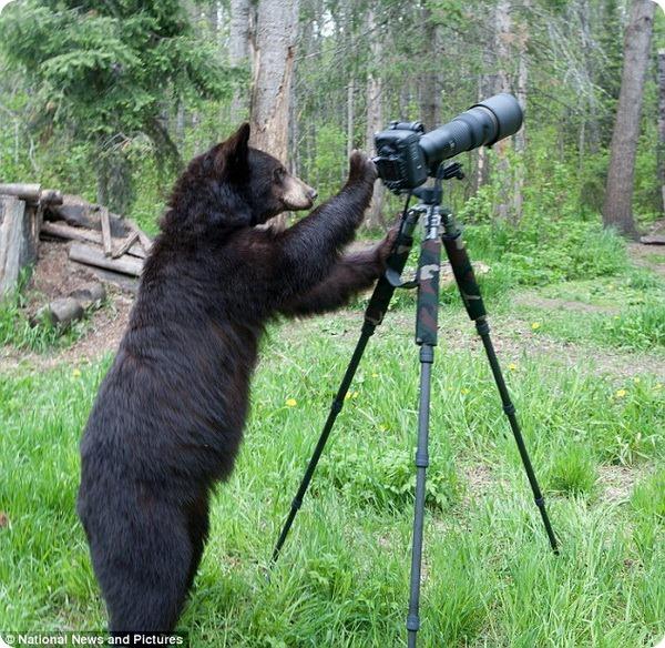 Любопытный медведь и фотокамера