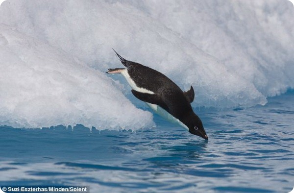 Бесстрашные пингвины Адели