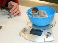 Птенцы папуанского пингвина из Moody Gardens