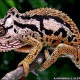 Трансваальский карликовый хамелеон