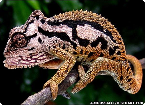 Трансваальский карликовый хамелеон (лат. Bradypodion transvaalens)