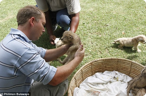 Львица родила 8 детёнышей