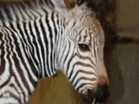 Малыш горной зебры родился в зоопарке Блэкпула