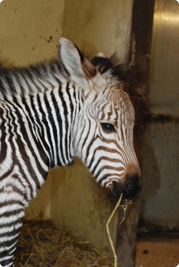 Малыш редкой горной зебры родился в зоопарке Блэкпула