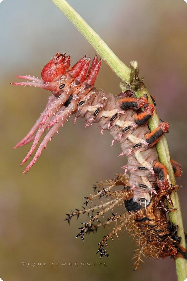 Цитерония королевская (лат. Citheronia regalis)