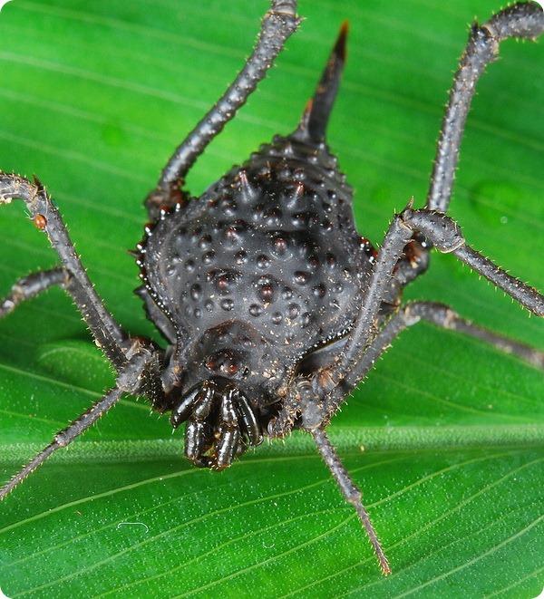 Паук-сенокосец Ampycus telifer