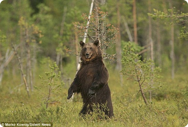 Спа-процедуры бурого медведя