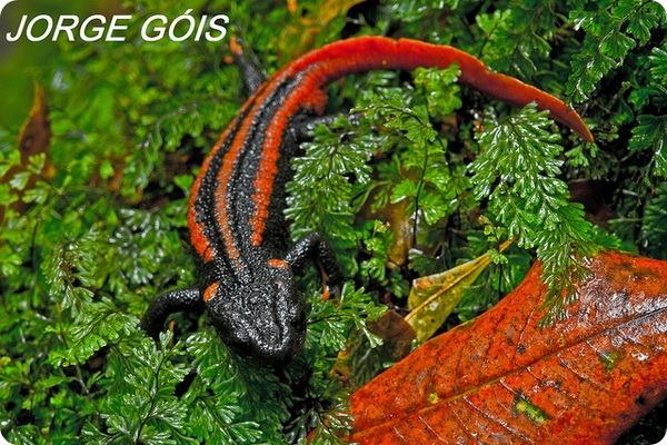 Краснохвостый тритон (лат. Tylototriton kweichowensis)