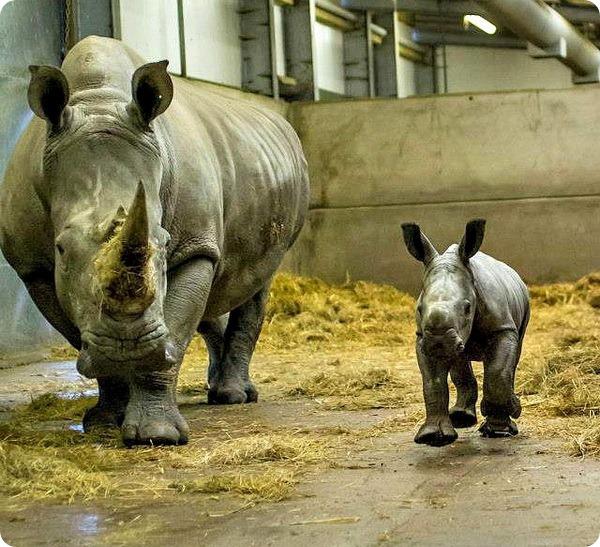 Детёныши белого носорога из Knowsley Safari Park