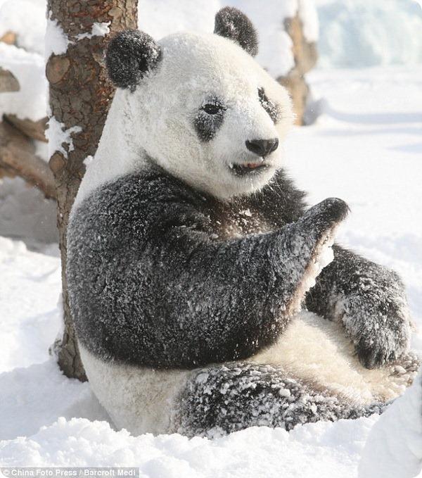 Большие панды Yantai Zoo радуются выпавшему снегу
