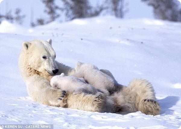 Белая медведица с малышами из Waspusk National