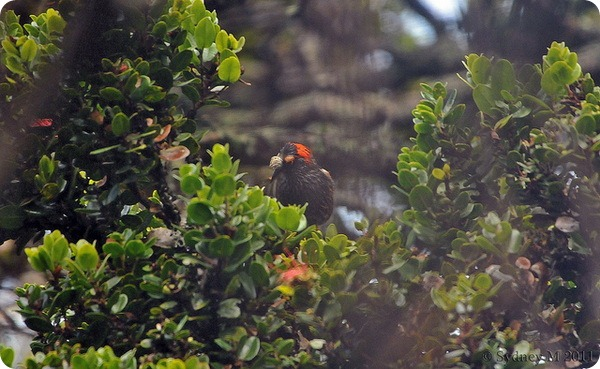 Хохлатая гавайская цветочница (лат. Palmeria dolei)